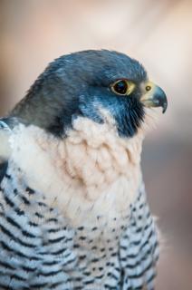 Halcón pájaro cazador
