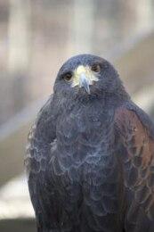 halcón pico