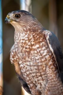 Halcón plumas de ave