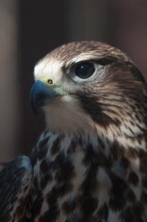 halcón plumas de halcón