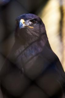 halcón plumas depredador