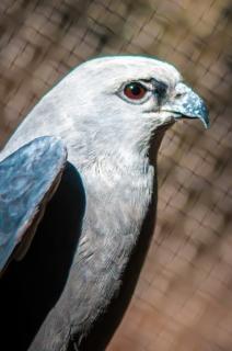 halcón rapaces halcón