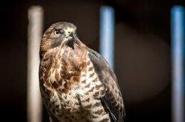 halcón rapaz cazador