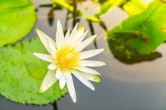 Hermosa flor de loto púrpura con polen amarillo.
