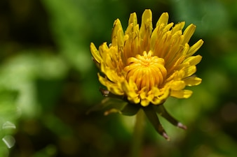 Hermoso fondo natural de hierba verde y flor de diente de león con sol. Primavera. Concepto estacional para la primavera y la mañana en la naturaleza.