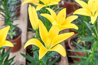 Hermoso lirio amarillo en el jardín