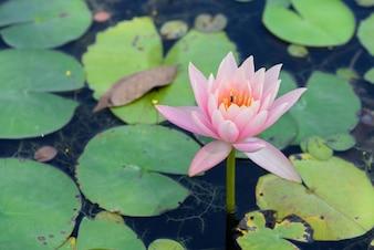 Hermoso loto florece en el estanque
