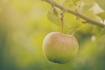 Hermoso sabroso manzanas frescas en el árbol de tonificación