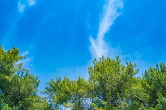 Hermosos árboles de pino con cielo azul.