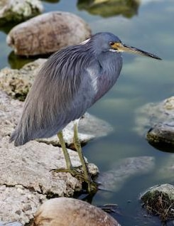 heron pájaro roca
