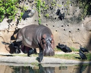 hipopótamo ojos