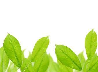 Hoja verde con gotas de agua aisladas sobre fondo blanco