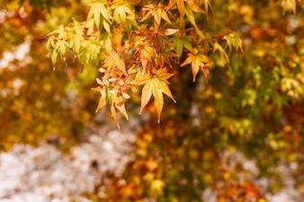 Hojas de arce coloridas en otoño.