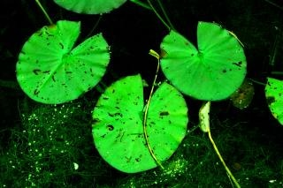 hojas de nenúfar, lilypads