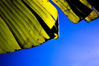 Hojas de plátano en el cielo azul