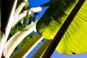 Hojas de plátano en la luz del sol