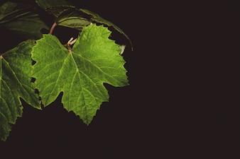 Hojas de vid de uva en la noche