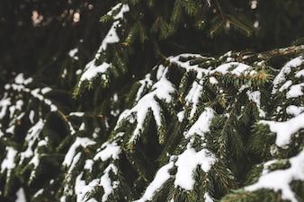 Hojas puntiagudas de un pino con nieve