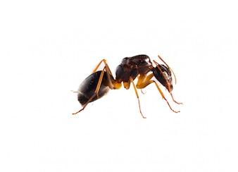 Hormiga marrón sobre fondo blanco