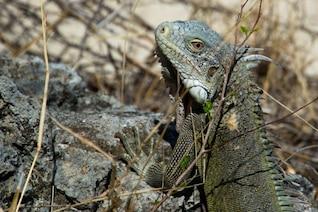 Iguana textura