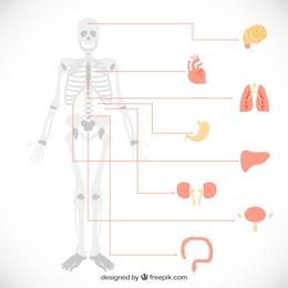 Infografía de órganos humanos