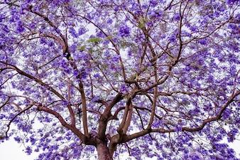 Jacaranda árbol de flor púrpura