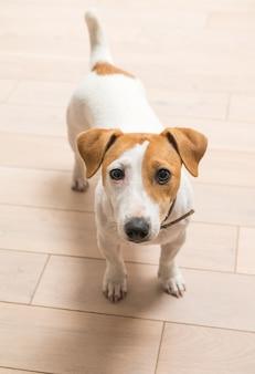 Jack Russell Terrier en casa