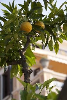 jardín de cítricos de limón planta de alimentos limone