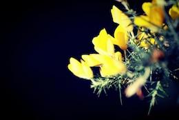 Jengibre amarillo