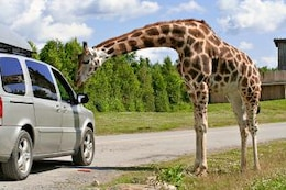 jirafa suave