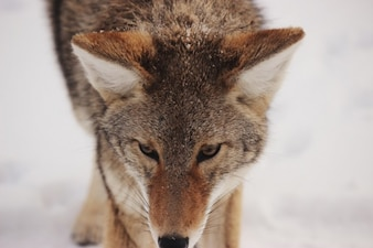 La cara del lobo