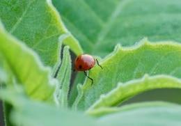 la mariquita, el escarabajo