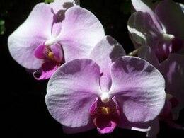la perfección de orquídeas
