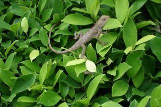 lagarto, hermosa