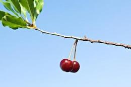 las cerezas de crecimiento