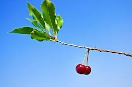 las cerezas verdes
