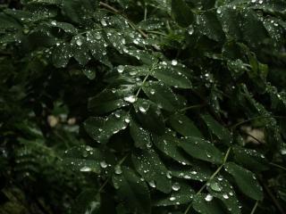 las gotas de las hojas mojadas