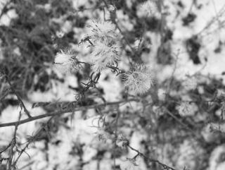 Las malas hierbas, el frío