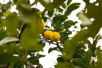 árbol de limón y gotas de lluvia