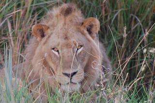 León, depredador, un animal
