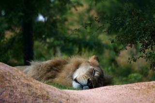 León Dormido zoológico