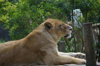leona, mujer