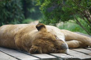 leona, piel, carnívoro