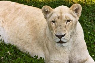 Leona blanca peluda