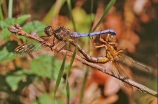 libélulas, el apareamiento