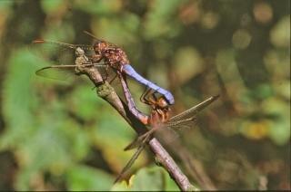 Libélulas, moscas