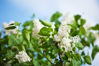 Lila blanca en primavera