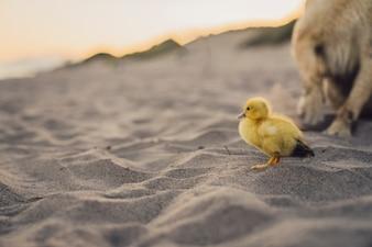 Lindo pollito y perro en la playa