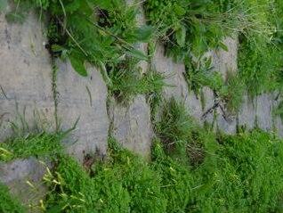 líneas Victoria - Malta, que se cultiva