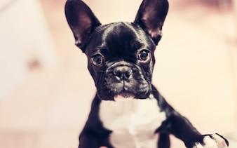 Perro negro pequeño